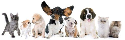 Puppies and kitten in studio Stock Image
