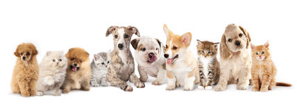 Puppies and kittens. Group of Puppies and kittens of different breeds, cat and dog Stock Photos