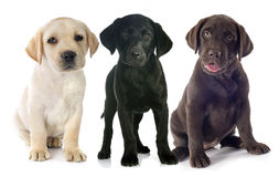 Puppies labrador retriever Stock Image