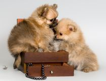 Puppies lapdog with a necklace Royalty Free Stock Photos
