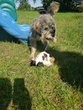 puppies royalty-vrije stock foto's
