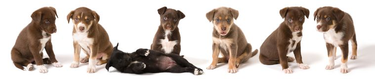 Puppies Lined-up. Seven puppies side by side against white background royalty free stock image