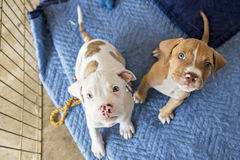 Puppies looking into camera. Puppies looking into the camera while sitting down stock image