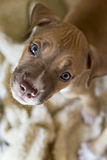 Puppies looking into camera. Puppies looking into the camera while sitting down royalty free stock images
