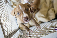 Puppies looking into camera. Puppies looking into the camera while sitting down royalty free stock photo