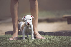 Puppies looking into camera. Puppies looking into the camera while standing between owners feet stock photo
