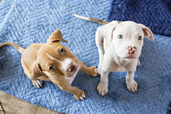 Puppies looking up. At camera while sitting stock image