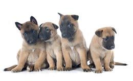 Puppies malinois Stock Photos