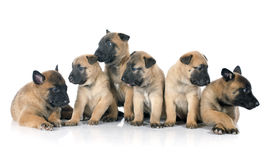 Puppies malinois. Puppies  belgian sheepdog malinois on a white background Stock Photography