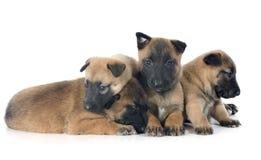 Puppies malinois Royalty Free Stock Photo