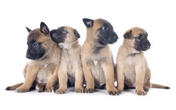 Puppies malinois Stock Photo