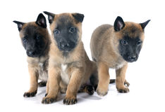 Puppies malinois. Puppies  belgian sheepdog malinois on a white background Stock Images