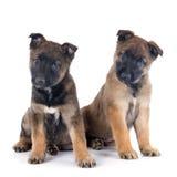 Puppies malinois Royalty Free Stock Photography