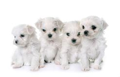 Puppies maltese dogs. In front of white background Stock Photography