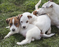 Puppies with mam Stock Photography