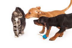 Puppies meeting kitten Royalty Free Stock Images