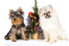 Puppies meets New year. In studio Royalty Free Stock Image