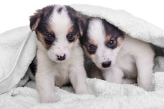 Puppies mestizo in blanket Stock Images