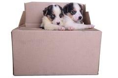 Puppies mestizo in box Stock Photos