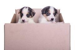 Puppies mestizo in box Stock Photo