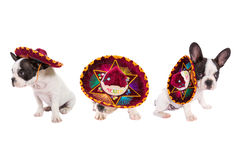 Puppies in Mexican sombrero over white. French bulldog puppies in Mexican sombrero over white background royalty free stock images