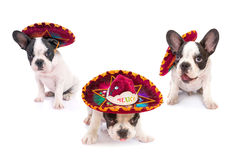 Puppies in Mexican sombrero over white. French bulldog puppies in Mexican sombrero over white background royalty free stock photography