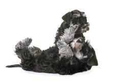Puppies miniature schnauzer stock photos