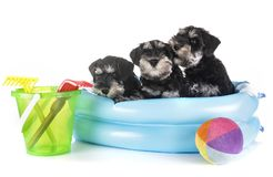 Puppies miniature schnauzer. In front of white background stock photo