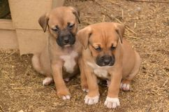 Puppies0001 Royalty Free Stock Photo