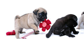 Puppies Mopsa play with a knitted red flower. On a white background Stock Images