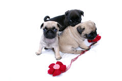 Puppies Mopsa play with a knitted red flower. On a white background Royalty Free Stock Photography