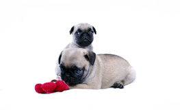 Puppies Mopsa play with a knitted red flower on a white background. Two beige puppies of a pug on a white background. One sits and looks, and the second lies and Royalty Free Stock Photography