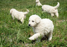Puppies. Newborn puppies first unbalanced steps Royalty Free Stock Photo