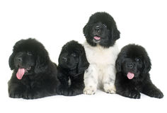 Puppies newfoundland dog Stock Images