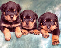 Puppies Of Rottweiler Royalty Free Stock Photo