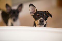 Puppies outside tub. Two Rat Terrier puppies stand outside a bathtub in a bathroom Stock Image