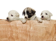 Puppies peeking Stock Images