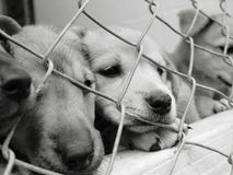 Puppies in a pen. Homeless animals series. Sad pups behind the wire mesh of their pen Black and white image stock image