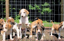 Puppies In a Pen Stock Photo