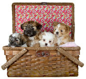 Puppies in a Picnic Basket Stock Photos