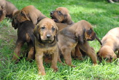 Puppies!. Pile of puppies outside in the grass Stock Photos