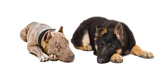 Puppies pit bull and German Shepherd. Lying together isolated on white background stock image