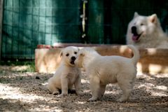 Puppies. Play with each other Stock Image