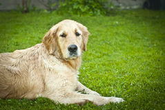 Adult golden retriever lying on the grass Royalty Free Stock Image