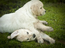 Two golden retriever puppies playing on the grass royalty free stock photos