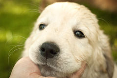 Snout of golden retriever puppy in a man's hand. Sad snout of golden retriever puppy in palm hand stock photography