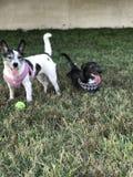 Puppies at play royalty free stock photo