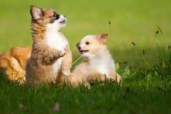 Puppies at play Royalty Free Stock Image