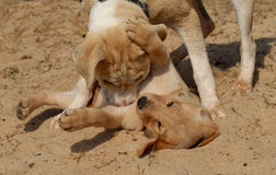 Puppies playing. Two light brown puppies playing in sand beach stock photos