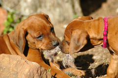 Puppies playing Stock Image